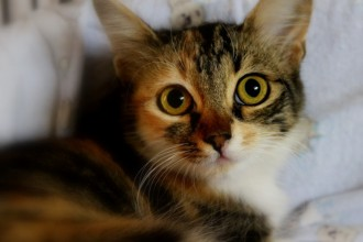 Calico Kitten , 7 Gorgeous Pictures Of Calico Cats In Cat Category