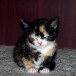 Calico Kittens , 7 Gorgeous Pictures Of Calico Cats In Cat Category