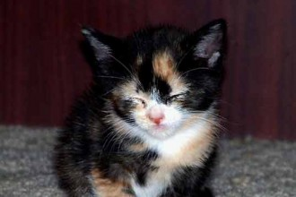 Calico Kittens in Cat