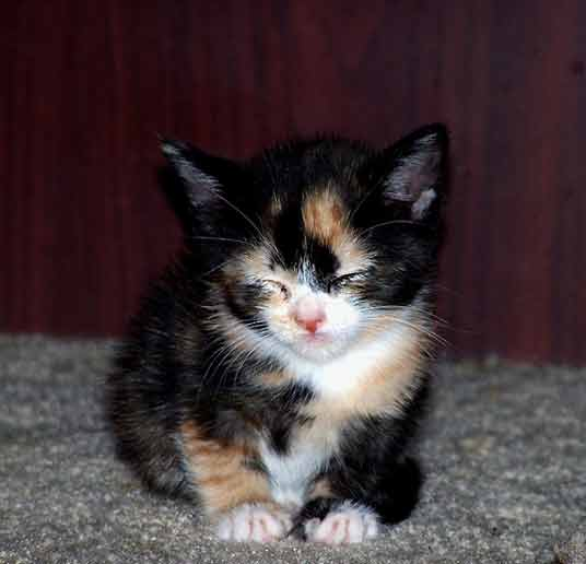 Cat , 7 Gorgeous Pictures Of Calico Cats : Calico Kittens