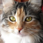 Calico Siberian Cat , 7 Awesome Calico Cat Pictures In Cat Category