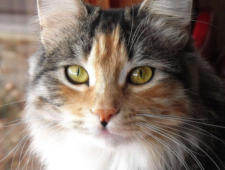 Cat , 7 Awesome Calico Cat Pictures : Calico Siberian Cat