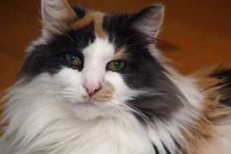 Calico cat picture in Cat