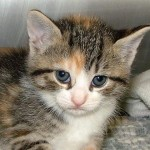 Calico cat picture , 7 Gorgeous Pictures Of Calico Cats In Cat Category