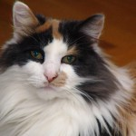 Calico cats , 7 Gorgeous Pictures Of Calico Cats In Cat Category