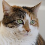 Calico tabby cat , 7 Awesome Calico Cat Pictures In Cat Category