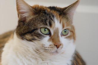 Calico tabby cat in pisces