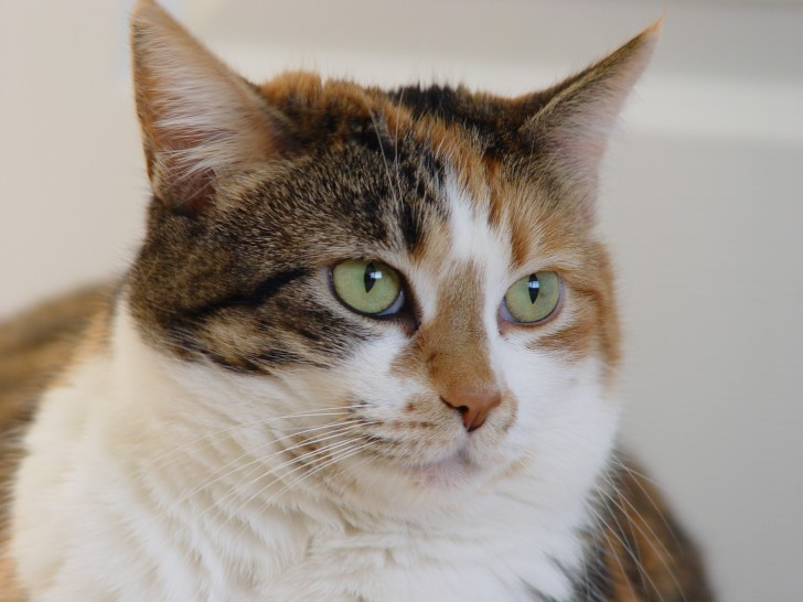 Cat , 7 Awesome Calico Cat Pictures : Calico Tabby Cat