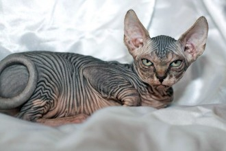 Canadian Hairless , 7 Nice Pictures Of Hairless Cats In Cat Category