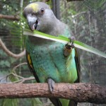Cape Parrots , 8 Beautiful Meyers Parrot In Birds Category