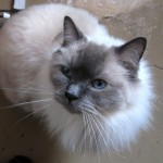 Cat Breeds , 6 Fabulous Pictures Of Cat Breeds In Cat Category