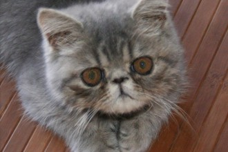 Cat Breeds Picture , 8 Cute Cat Breeds Pictures In Cat Category