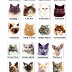 Cat Breeds , 6 Best List Of Cat Breeds With Pictures In Cat Category