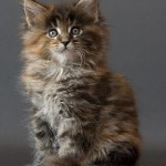 Cat Breeds , 6 Lovely Cat Breeds With Pictures In Cat Category