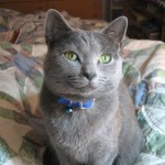 Cat Breeds , 7 Gorgeous Pictures Of Russian Blue Cats In Cat Category
