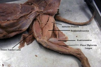 Cat Dissection in Dog