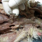 Cat Dissections , 6 Amazing Cat Dissection Pictures In Cat Category