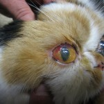 Cat Eye Infection , 7 Cat Eye Infection Pictures You Should Consider In Cat Category