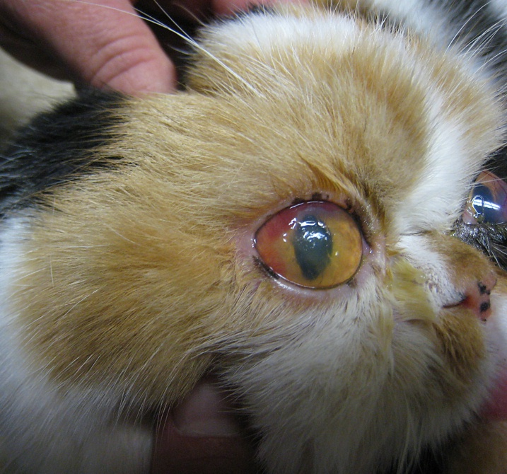 Cat , 7 Cat Eye Infection Pictures You Should Consider : Cat Eye Infection
