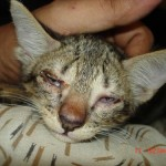 Cat Illnesses , 7 Cat Eye Infection Pictures You Should Consider In Cat Category
