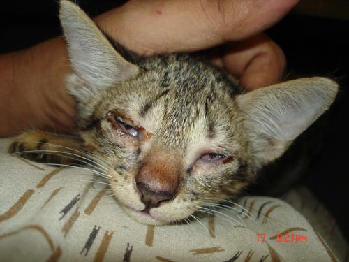 Cat , 7 Cat Eye Infection Pictures You Should Consider : Cat Illnesses