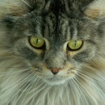 Cat Maine Coon , 6 Cute Maine Coon Cats Pictures In Cat Category