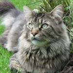 Cat Maine Coon , 7 Beautiful Pictures Of Maine Coon Cats In Cat Category