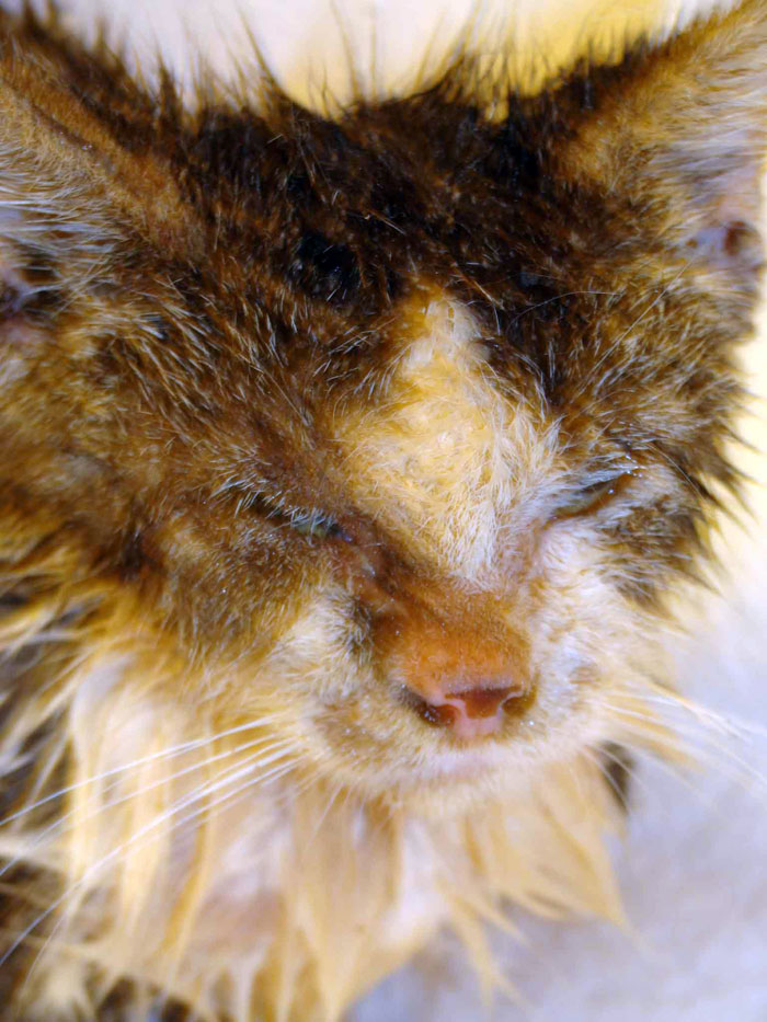 Cat , 5 Mange In Cats Pictures You Should Consider : Cat Mange
