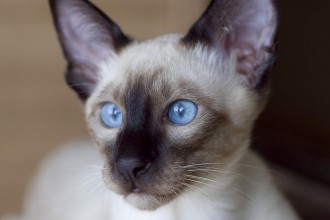 Cat Siamese , 7 Nice Siamese Cats Pictures In Cat Category