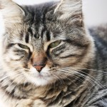 Cat Siberian , 8 Nice Siberian Cat Pictures In Cat Category