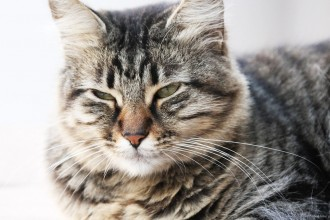 Cat Siberian , 8 Nice Siberian Cat Pictures In Cat Category