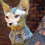 Cat Sphynx , 6 Wonderful Sphynx Cat Pictures In Cat Category