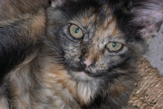 Cat Tortoiseshell , 5 Wonderful Tortoiseshell Cat Pictures In Cat Category