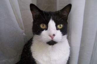 Cat Tuxedo , 7 Gorgeous Tuxedo Cat Pictures In Cat Category