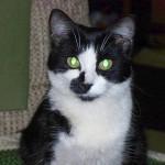 Cat Tuxedo , 6 Charming Pictures Of Tuxedo Cats In Cat Category