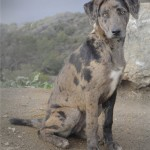Catahoula Dog , 7 Gorgeous Catahoula Dog Pictures In Dog Category