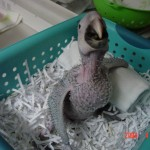 Catalina Macaw Baby , 6 Cute Baby Macaws In Birds Category