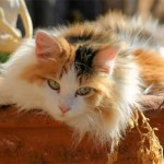 Cats Calico , 7 Awesome Calico Cat Pictures In Cat Category