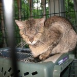 Cats Mange , 5 Cat Mange Pictures To Consider In Cat Category