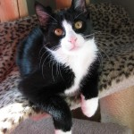 Cats Tuxedo , 6 Charming Pictures Of Tuxedo Cats In Cat Category