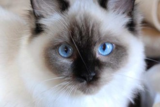Cats Ragdoll , 5 Fabulous Ragdoll Cat Pictures In Cat Category