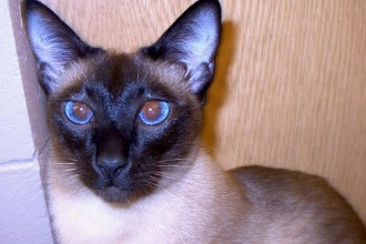 Cats , 6 Cute Pictures Of Siamese Cats In Cat Category