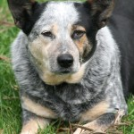 Cattle Dog , 6 Cool Australian Cattle Dog Pictures In Dog Category