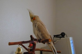 Cinnamon Cockatiel in Cell