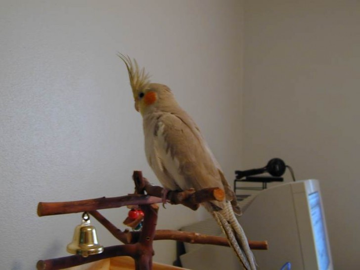 Birds , 8 Charming Cinnamon Cockatiel : Cinnamon Cockatiel