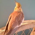 Cinnamon Cockatiel , 8 Charming Cinnamon Cockatiel In Birds Category