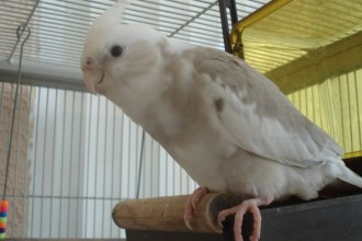 Cinnamon Cockatiel , 8 Charming Cinnamon Cockatiel In Birds Category