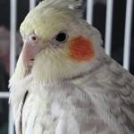 Cinnamon Pearl Cockatiel , 8 Charming Cinnamon Cockatiel In Birds Category
