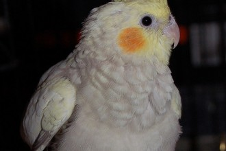 Cinnamon Pearl Cockatiels , 8 Charming Cinnamon Cockatiel In Birds Category