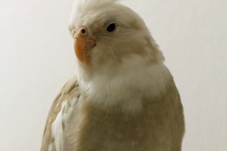 Cinnamon Whiteface Cockatiel , 8 Charming Cinnamon Cockatiel In Birds Category